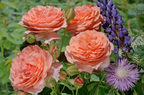 Belvedere rose сорт розы фото