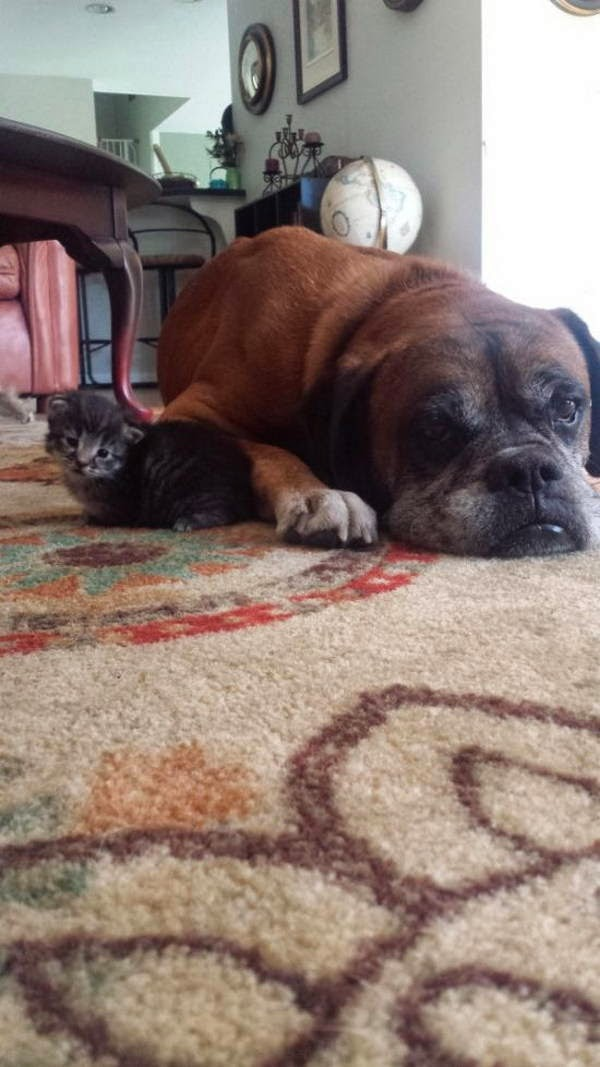 Boxer dog meets new kitten (6 pics), cat and dog friends, boxer dog picture, dog befriends kitten