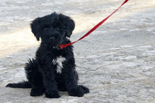 Portuguese Water Dog Puppy Picture