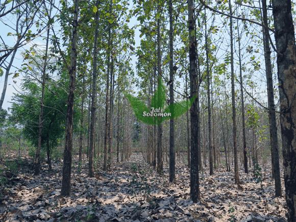 Pohon_Jati_Solomon_Umur_4_tahun_Semarang2