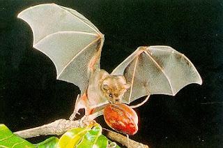 Murciélago llevando su alimento