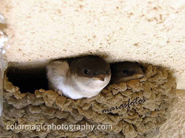 Two House Martin chicks in the nest