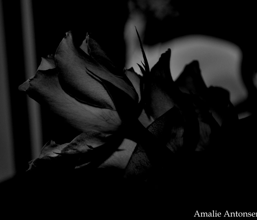 The Black Rose From A Vampire Wallpaper