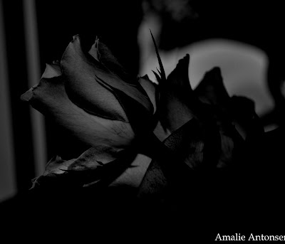 the-black-rose-from-a-vampire-wallpaper