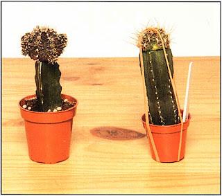 Держите растение в теплом светлом месте. Эластичные резинки можно снять, как только будет заметно возобновление роста