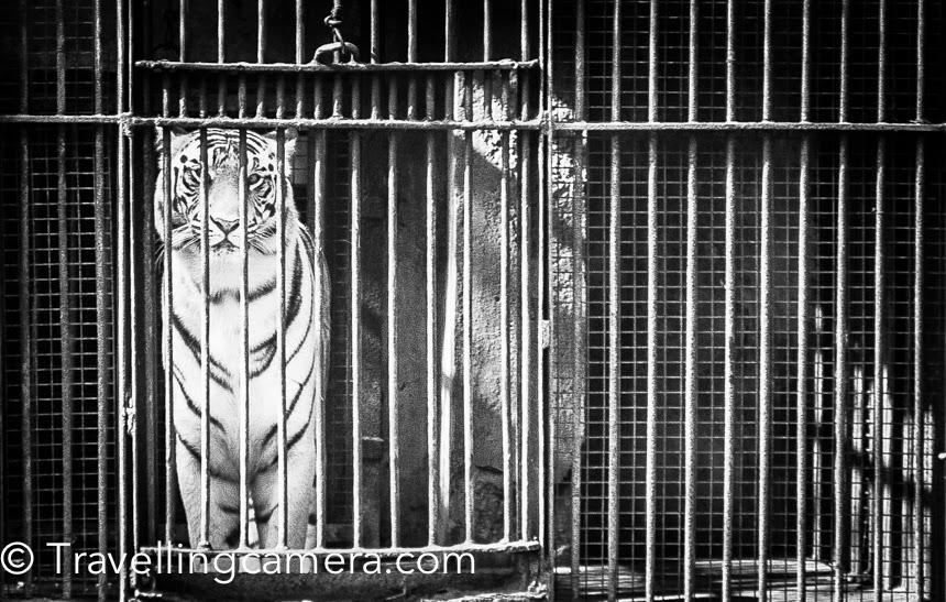 White Tiger in Delhi Zoo, India