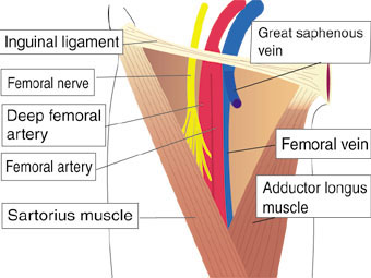 femoral triangle! | anatomy(b.d chaurasia's) notes, Muscles