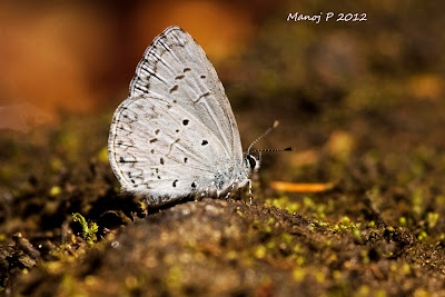 Common Hedge Blue Butterfly