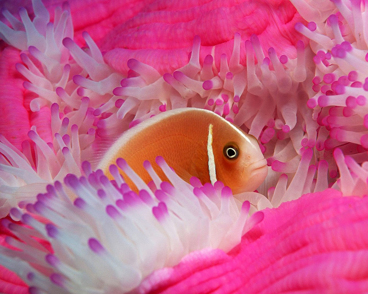 Fish-with-pink-coral-reef-background.jpg