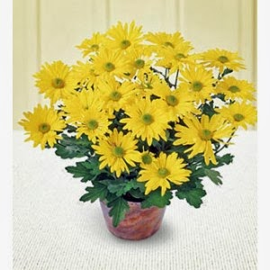 http://www.floristvancouver.com/shop/potted-chrysanthemum/