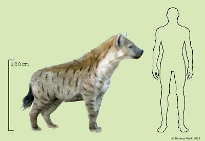 hyaenidae fosil  Pachycrocuta