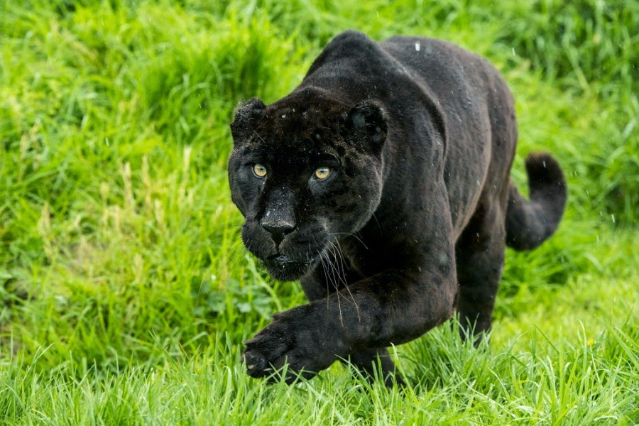 Impressive Pictures of Black Panthers