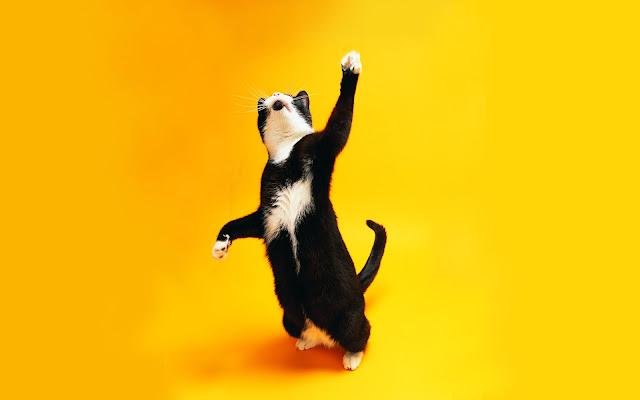 funky cat, cat dance, cat wallpapers