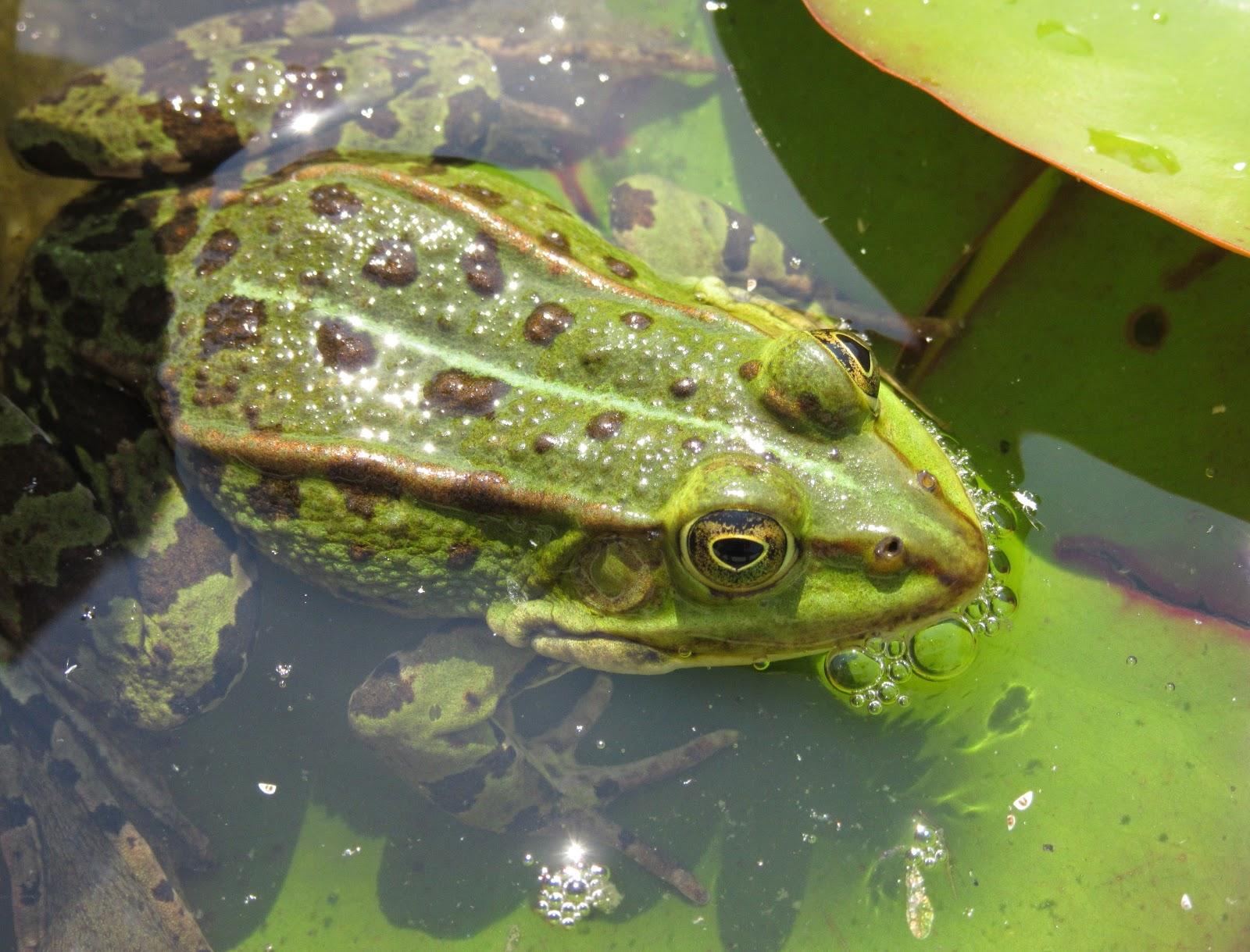 Froschnetz - Biologie der Amphibien Frsche Krten