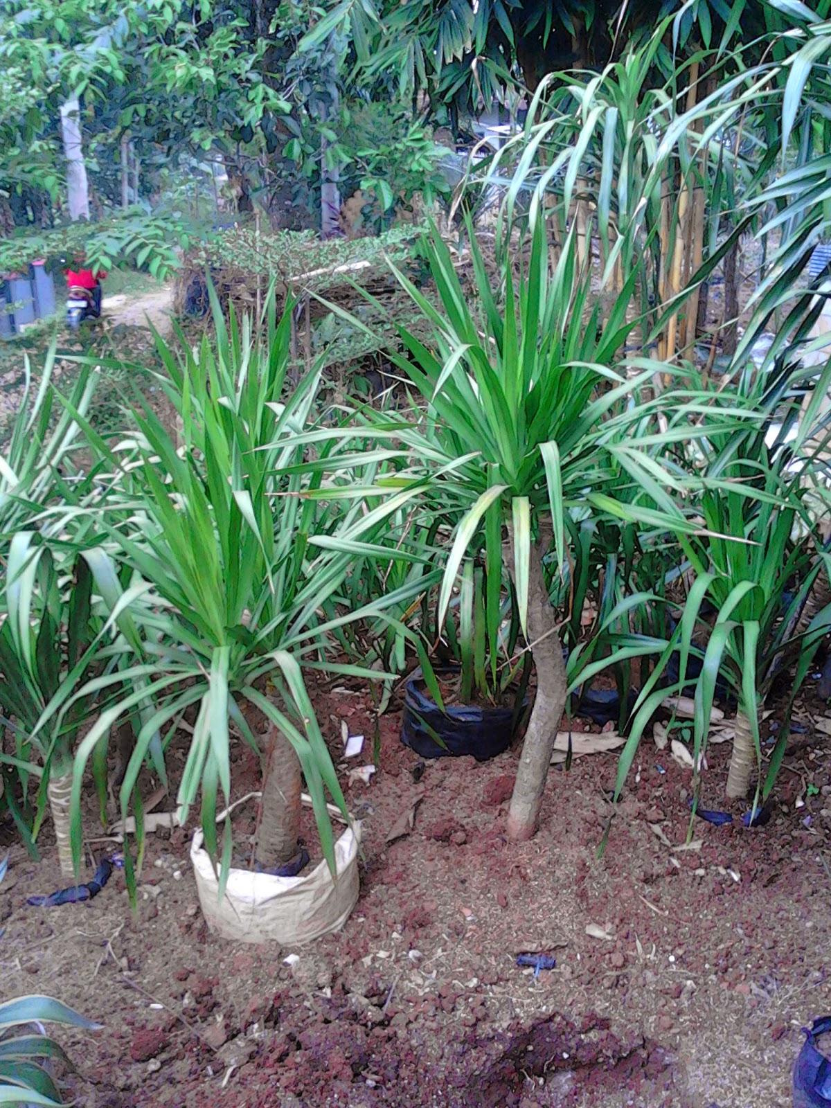 Jual pohon pandan bali | suplier tanaman | tanaman hias | jasa deain taman