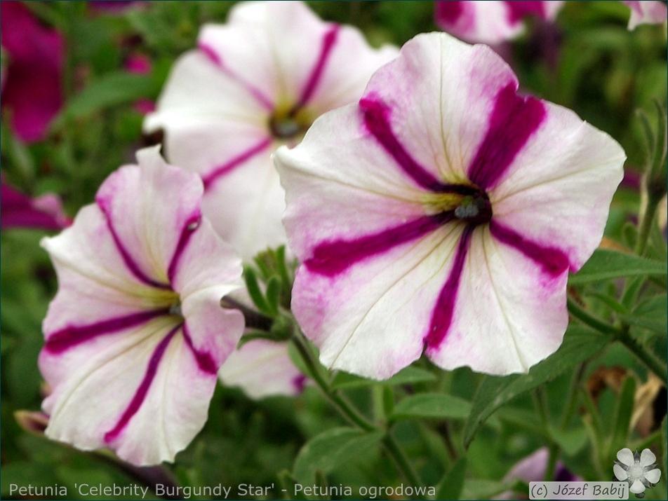 Petunia 'Celebrity Burgundy Star' - Petunia ogrodowa kwiaty