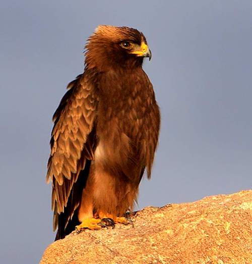 Birds of India - Picture of Booted eagle - Hieraaetus pennatus