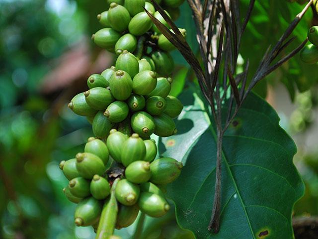 Café verde. Foto: Harsha K R