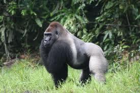 foto western lowland gorilla