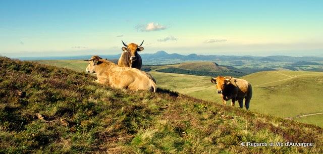 auvergne, vaches