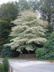 Variegated Giant Dogwood