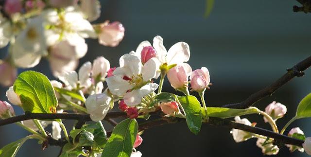 Blomstrende paradisæbletræ i hvide og rosa toner