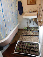 Trays of seedlings in a crowded bathroom