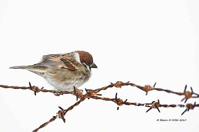 bird, sparrow, rusty barbed wire