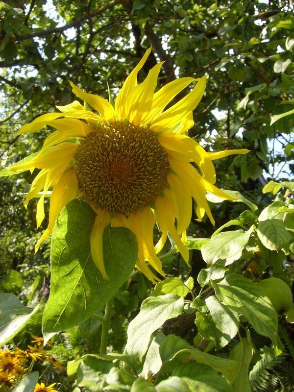 Как посадить подсолнухи из семечек на даче