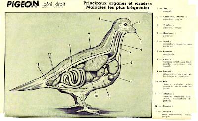 Anatomie pigeon