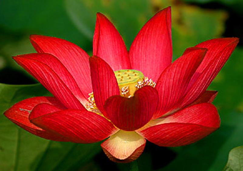 flor de loto roja