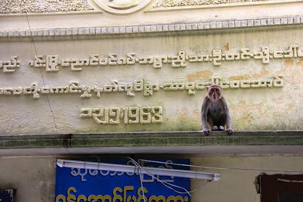 Monos en el Monte Popa - Myanmar