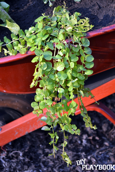 Creeping Jenny plants: Wheelbarrow Planter | DIY Playbook