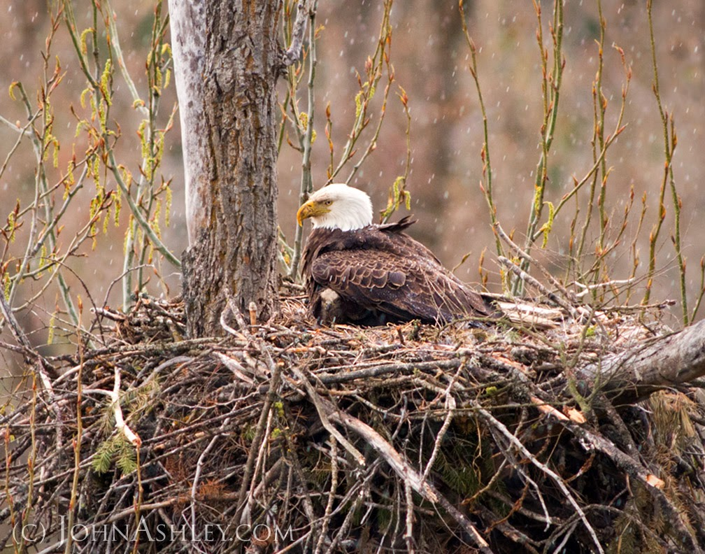 Brooding Bald Eagle (c) John Ashley