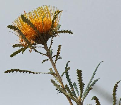 Golden Dryandra (Banksia nobilis)