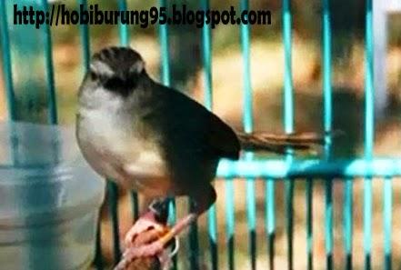 Jenis Burung Ciblek yang Bagus