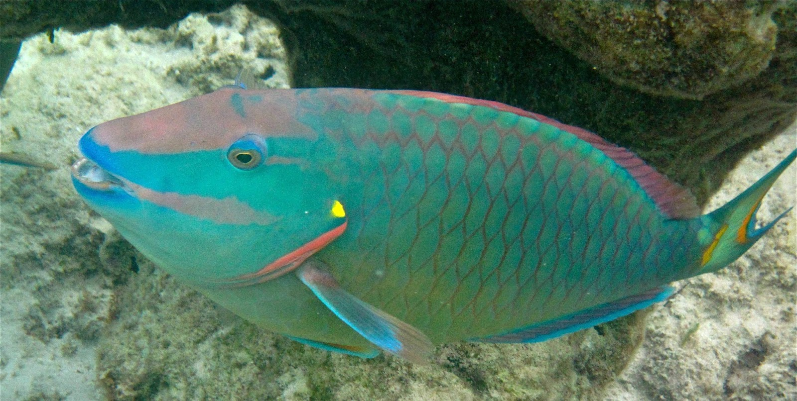 Anything and everything for Pictures of parrot fish