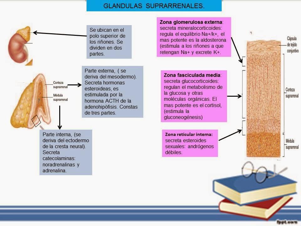 GLÁNDULAS SUPRARRENALES. | Blog de Fisiología Médica