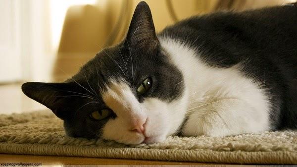 Photo chat noir et blanc très mimi