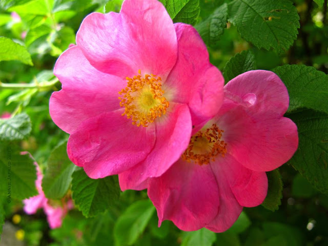 wild rose image, pink, nature, macro, © 2013 Annie Japaud Photography, wild roses