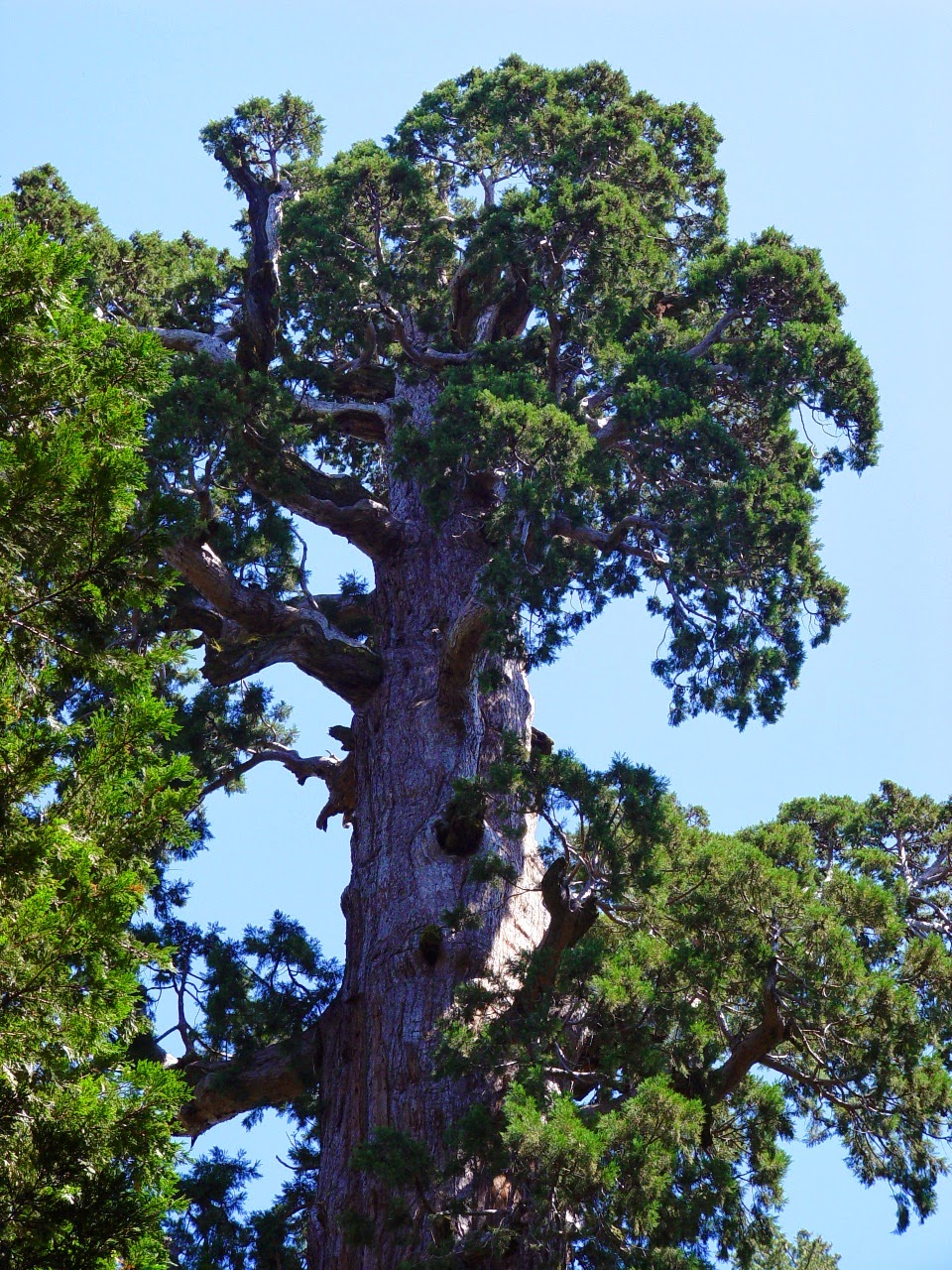 the General Grant Tree in