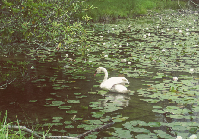 swan in water lilies