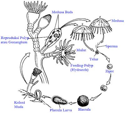 Coelenterata (Pengertian, Ciri-Ciri, Klasifikasi, & Peranan)