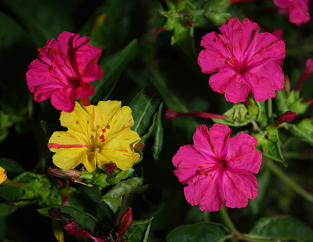 Mirabilis jalapa (The four o'clock flower) yellow and pink