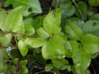 24 Benefits of Plants Binahong