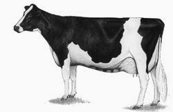 this is a Holstein-Freisian dairy cow