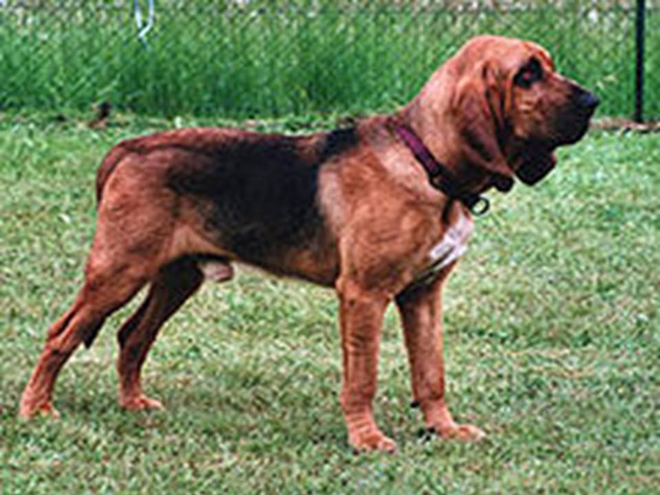 Lovely Pets: Bloodhound