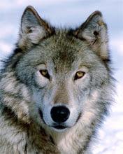 Vuk životinje download besplatne slike pozadine za mobitele
