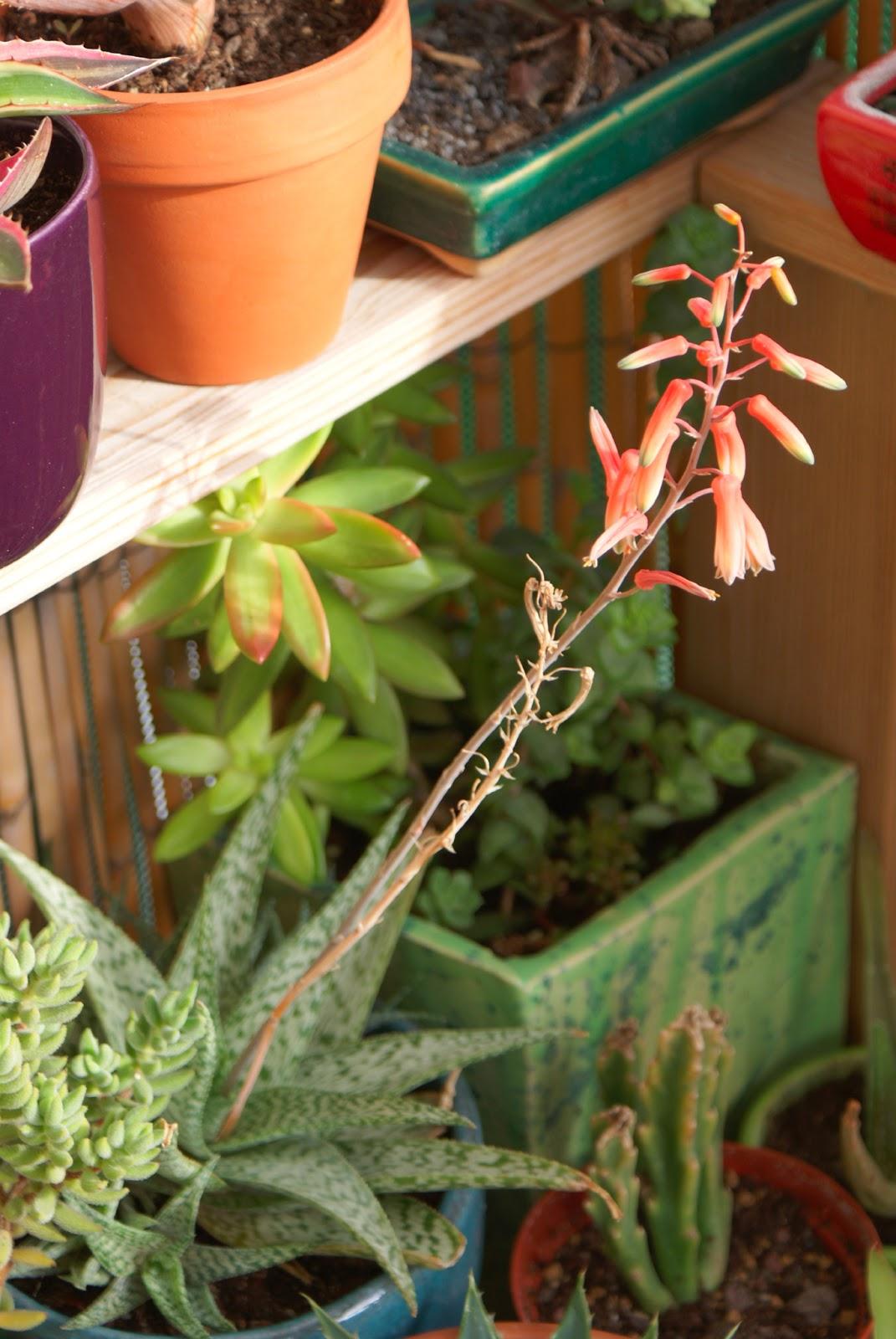 Aloe 'Snowflake' - Flowers