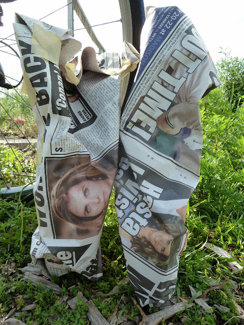 Tomato seedlings wrapped in newspaper for protection, Floyd Bennett Field, Brooklyn